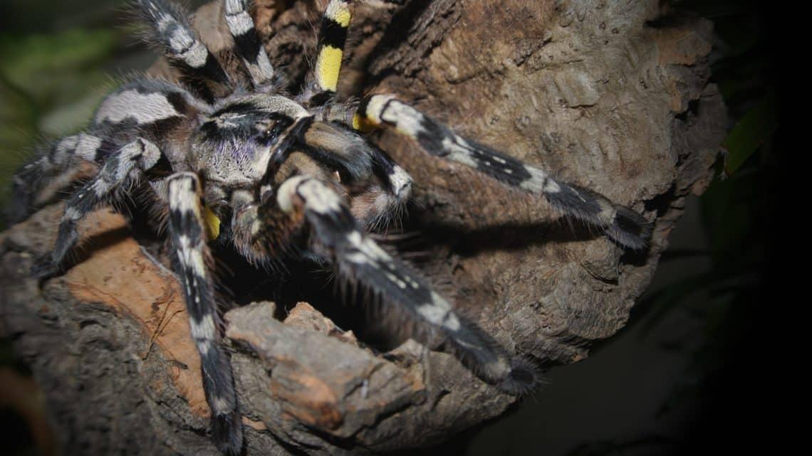 Les araignées, mygales et tarentules du Mexique