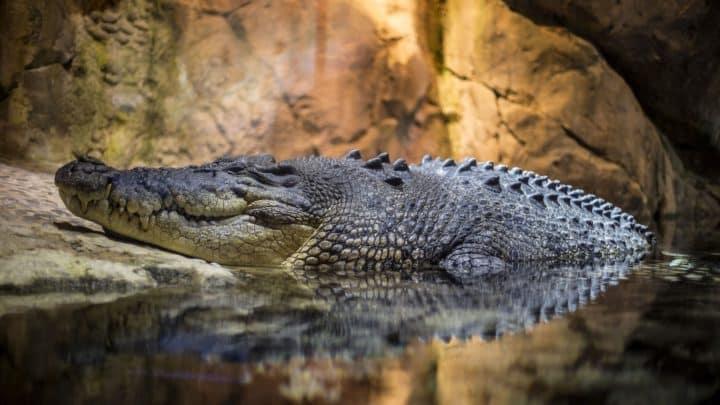 Les crocodiles au Mexique : danger et tourisme