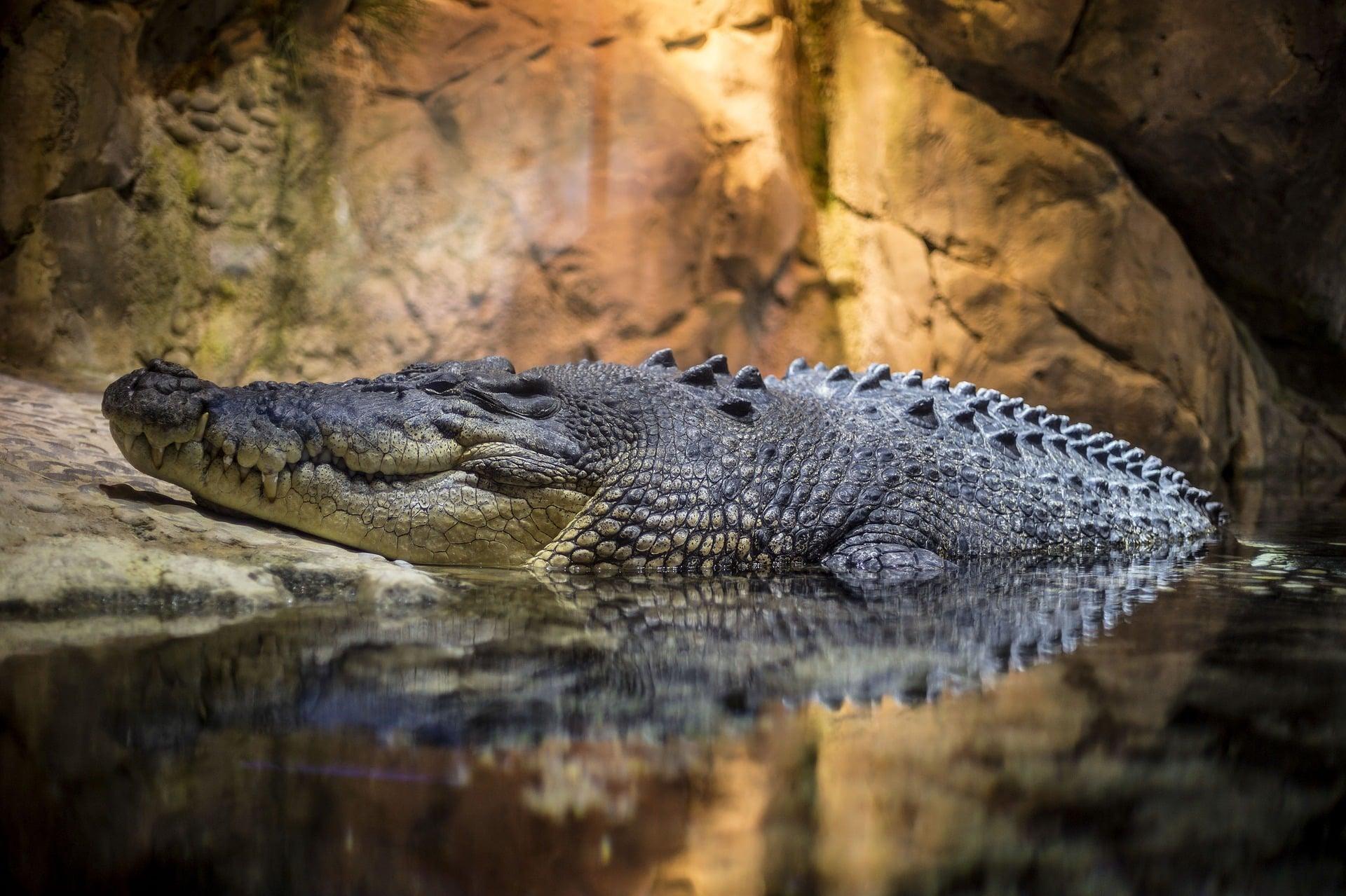 Crocodiles et alligators du Mexique, danger et risque