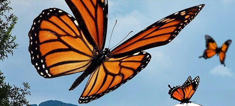 Les papillons monarques du Mexique