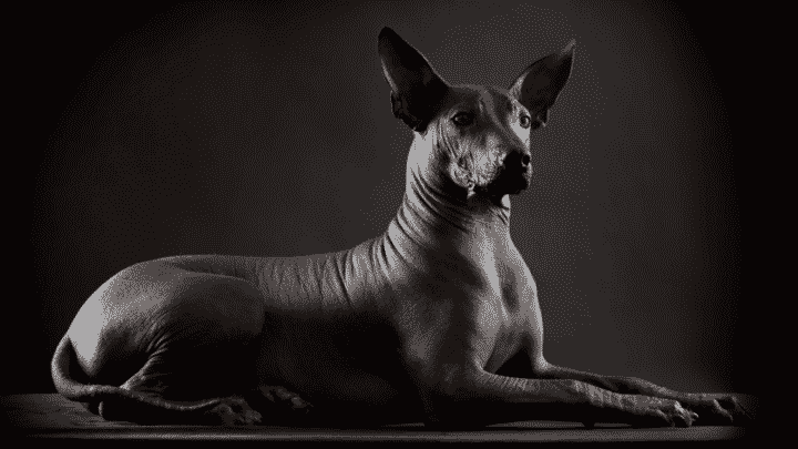 Chien nu mexicain ou Xoloitzcuintle – caractère, éducation