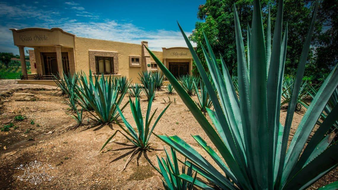 L'agave du Mexique : comment planter et cultiver