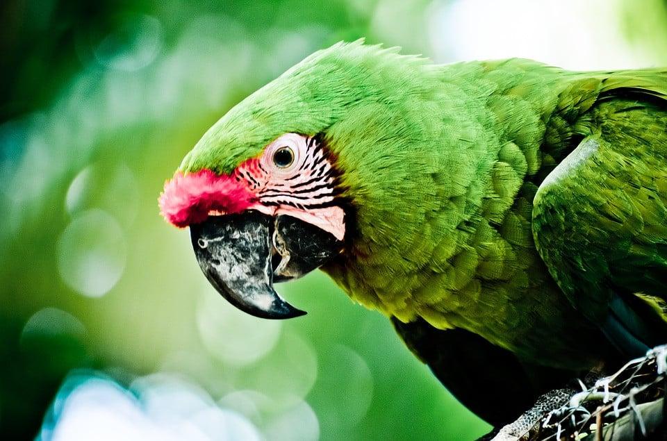 oiseau amazone yucatan perroquet