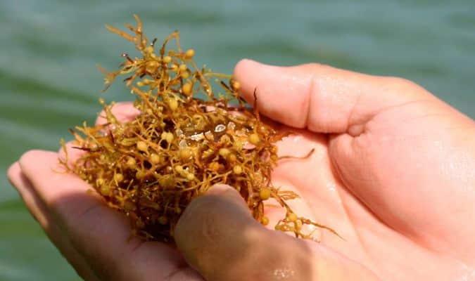 Sargassum - Algue des plages mexicaines