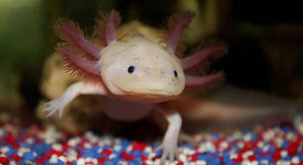 Axolotl du mexique