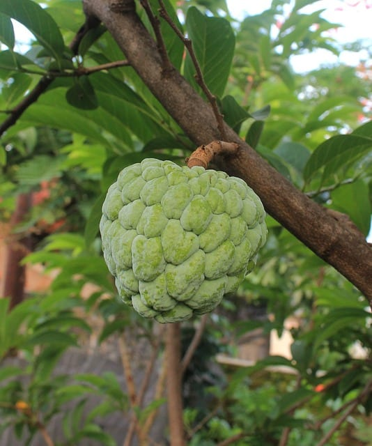 Cherimoya du Mexique
