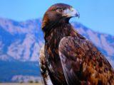 Aigle royal du Mexique