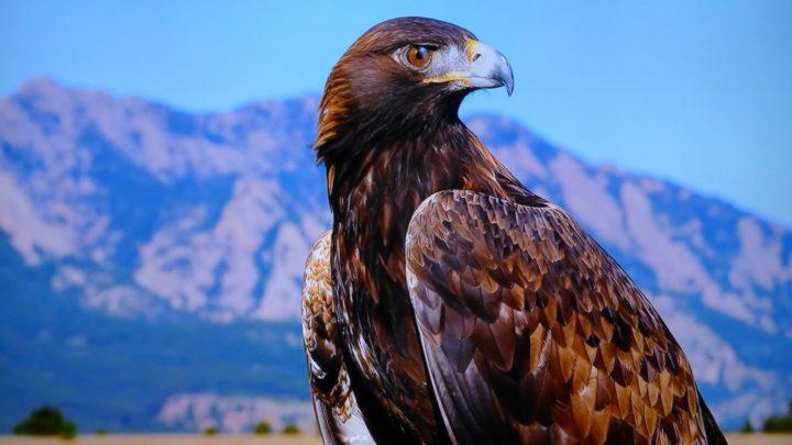 L'aigle royal du Mexique | espèce en voie d'extinction