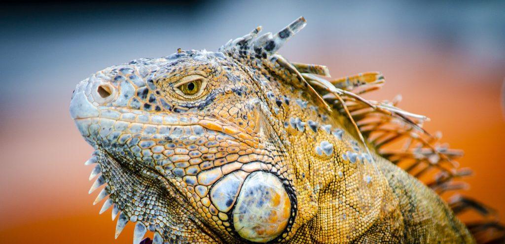 Iguane île de Cozumel