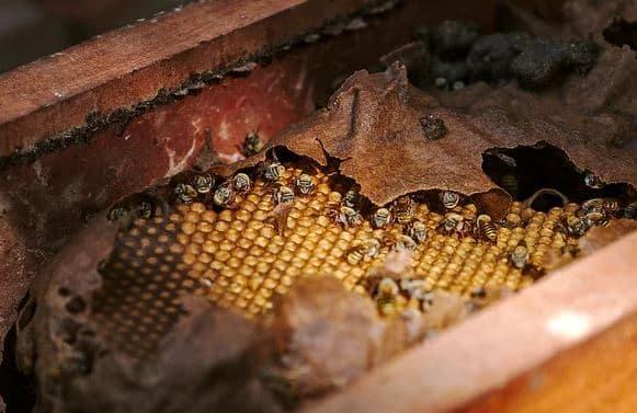 abeille Melipona
