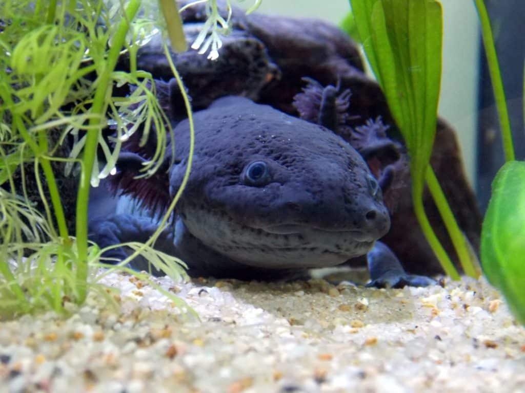 Pouvoir de régénération de l'axolotl
