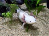 Axolotl, la salamandre mexicaine