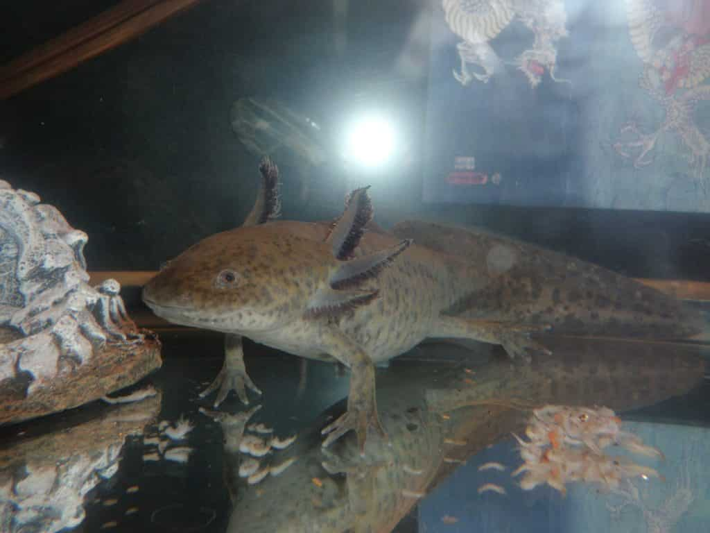 Taille adulte d'un axolotl