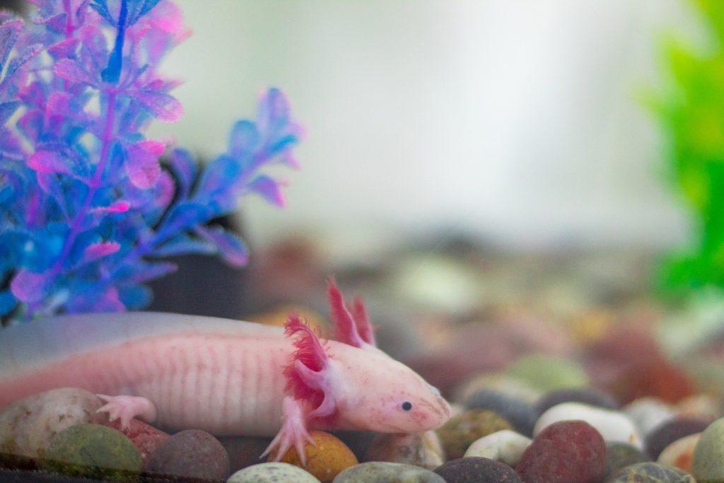 Nourrir un axolotl