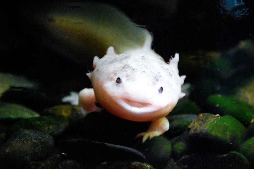 Comportement et reproduction de la salamandre