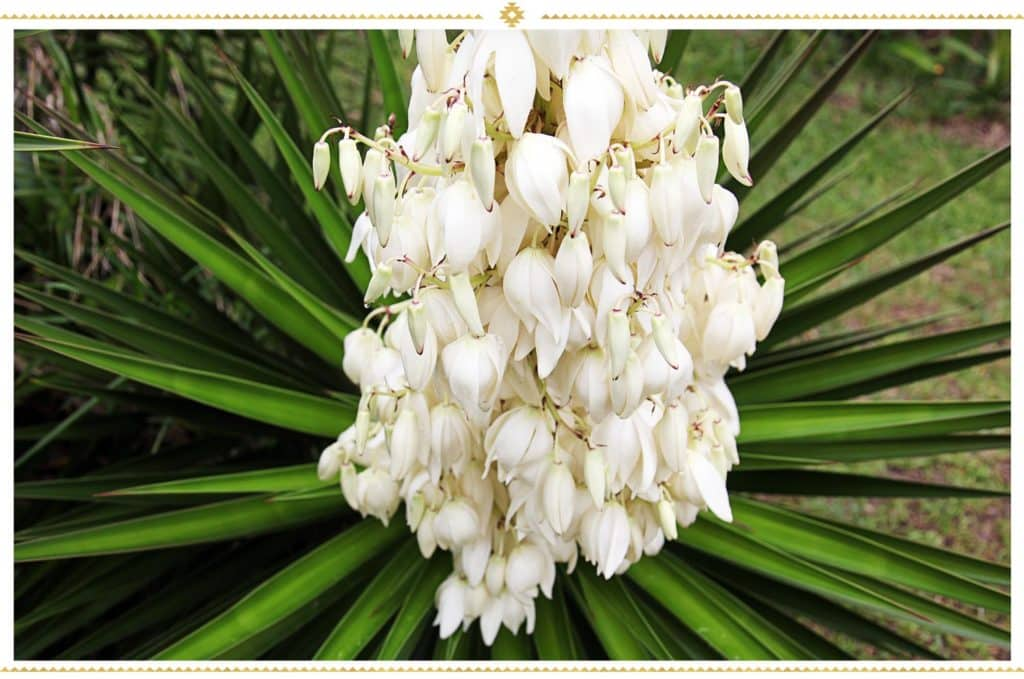 Fleurs de Yucca