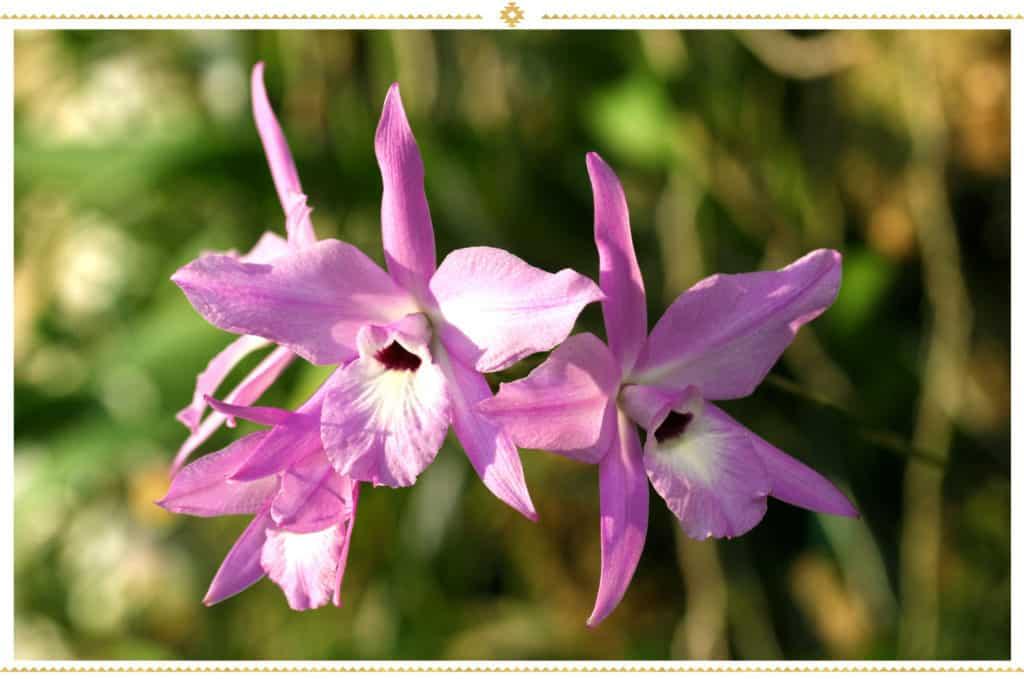 Orchidée Laelia