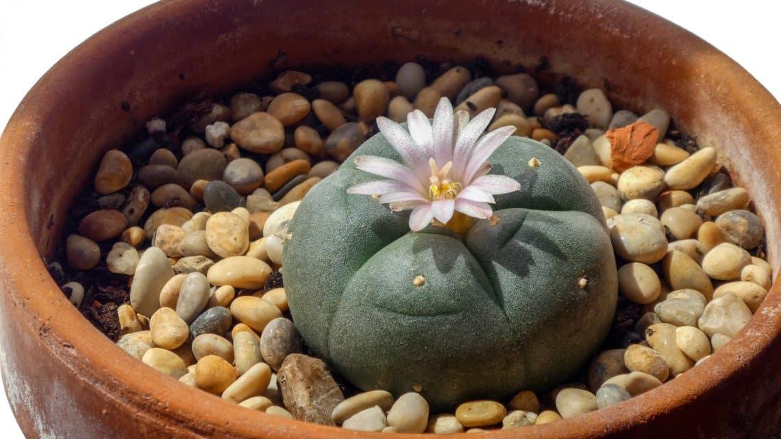 Le peyote | Cactus hallucinogène du Mexique