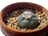 Le peyote   Cactus hallucinogène du Mexique