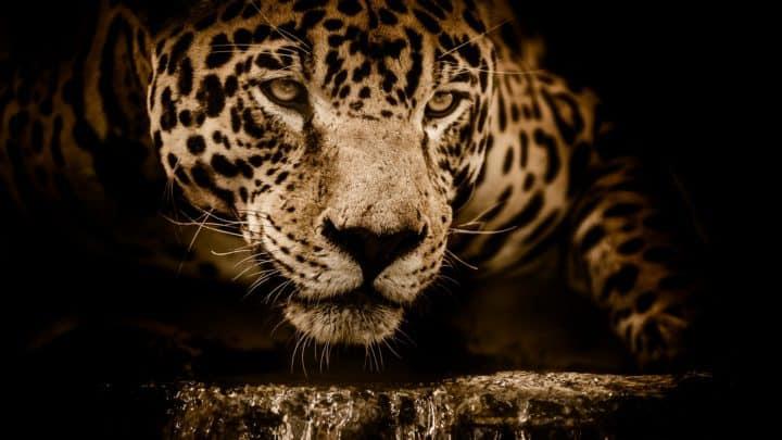 Les jaguars au Mexique | Espèce en voie d'extinction