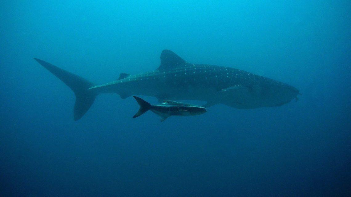 Le requin-baleine   Le plus grand poisson du monde