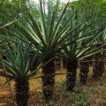 L'henequén ou l'or vert du Yucatán   Qu'est-ce que c'est ?