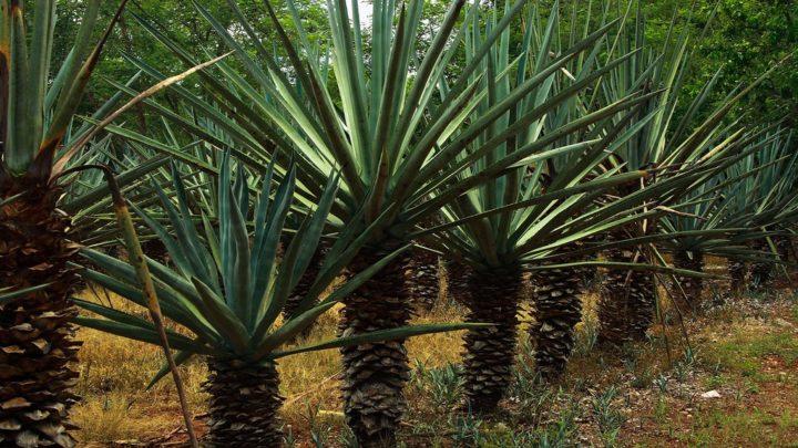 L'henequén ou l'or vert du Yucatán | Qu'est-ce que c'est ?