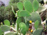 Le Nopal | Le cactus rond plat avec des épines