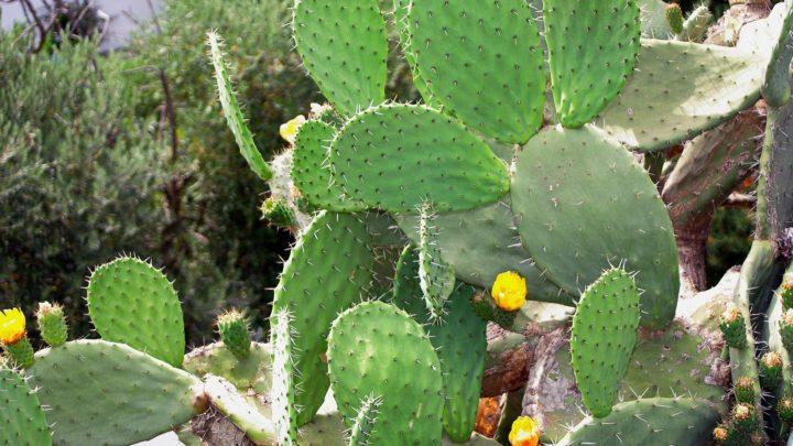 Le Nopal | Cactus rond plat avec des épines