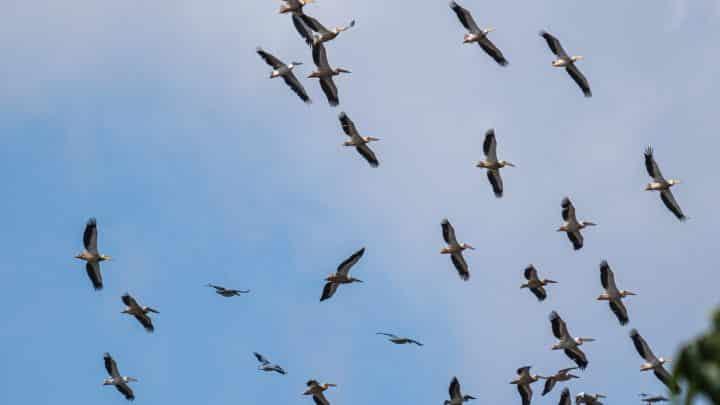 5 oiseaux migrateurs qui passent par le Mexique