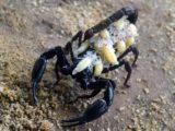 Les scorpions au Mexique : réel danger ?
