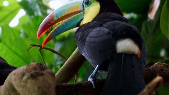 Les toucans au Mexique