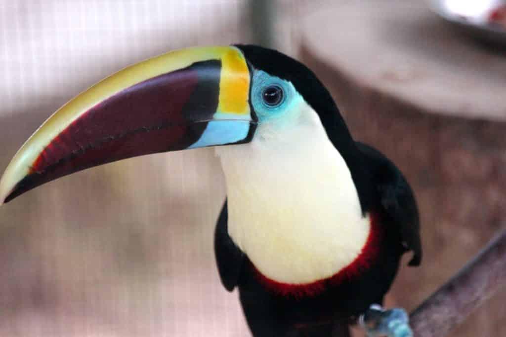 Toucan de Cuvier (Toucan à bec rouge)