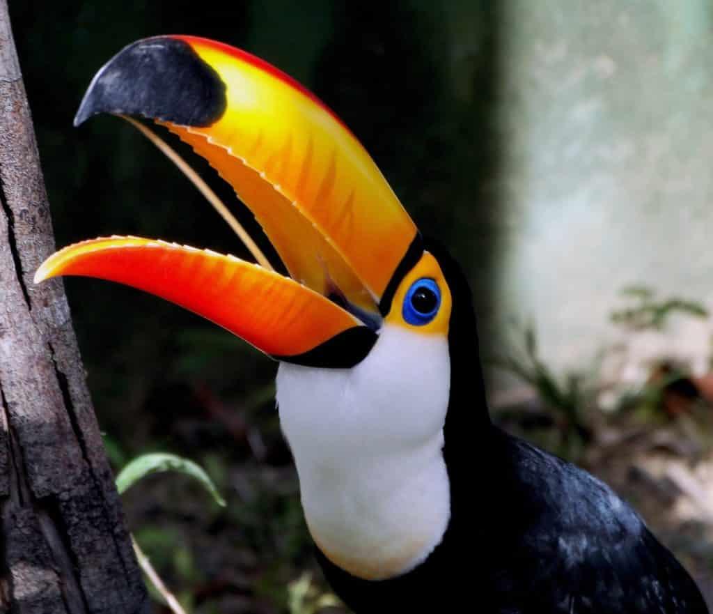 Toucan usage de son bec