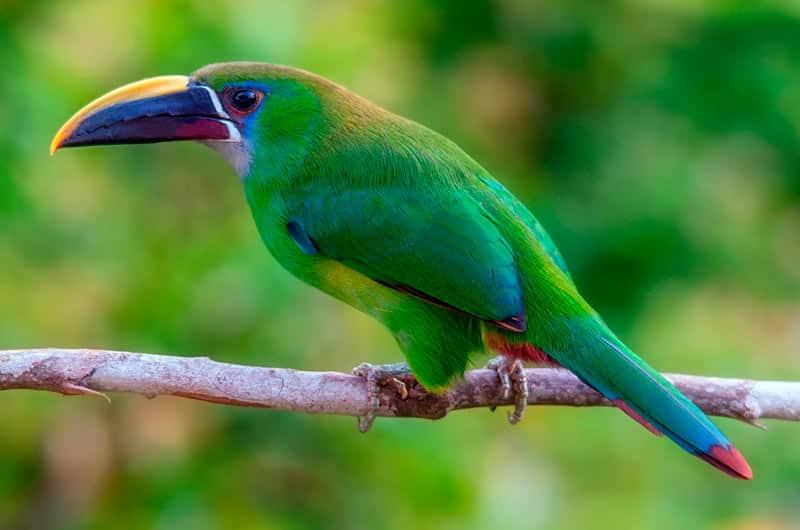 Le toucan vert