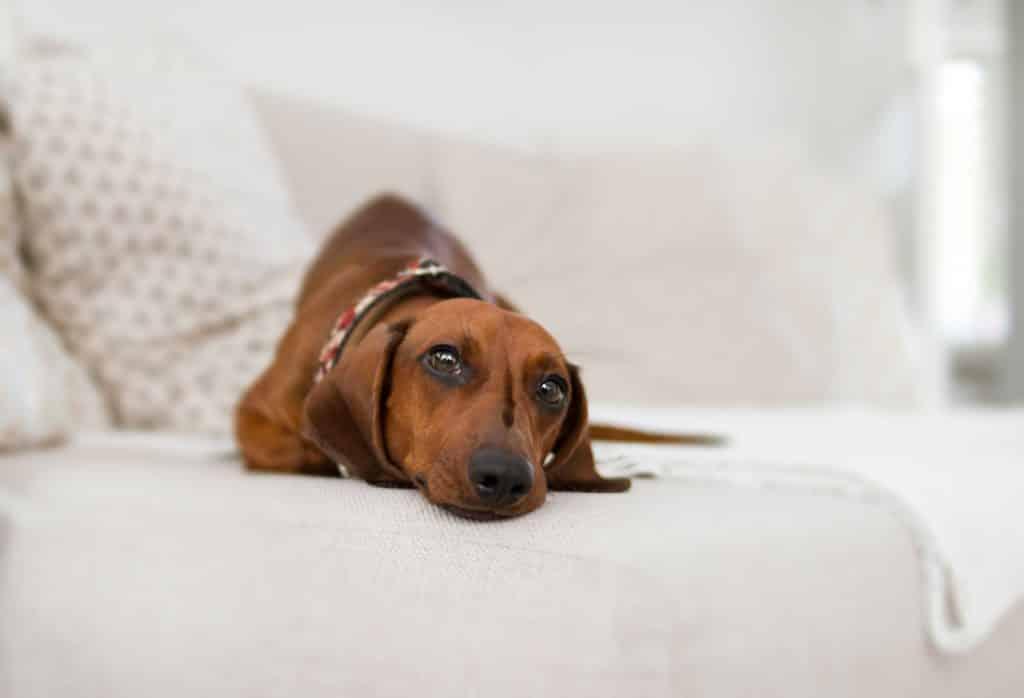 Colliers standard pour chiens