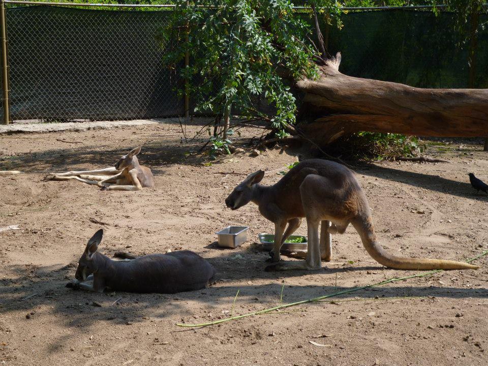 Village australien : attraction dédiée au continent des kangourous zoo de Guadalajara