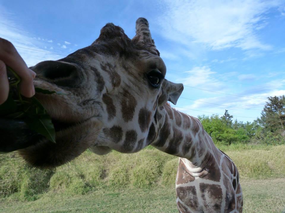 Safari dans le Masai Mara girafes zoo de Guadalajara