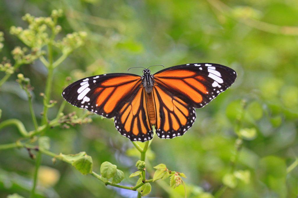 """Sanctuaire des papillons monarques, """"El Rosario"""", dans l'Etat de Michoacán au Mexique"""